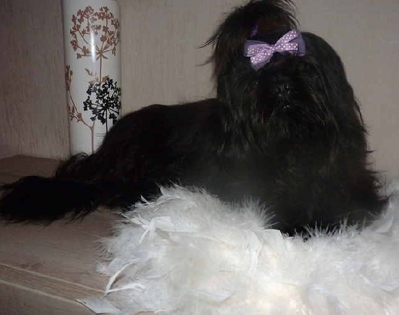comment devenir eleveur de shih tzu. Black Bedroom Furniture Sets. Home Design Ideas